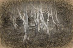 Bunyip bog (orothy) Tags: bog ghostly white paperbark trees redrockbeach nsw sc816