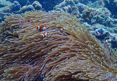 Anemonefish (Nana* <salala817>) Tags: anemonefish tropicalfish fish bali ocean sea scuba scubadiving diving seaanemone