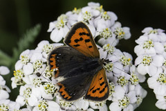 Small Copper (me'nthedogs) Tags: butterfly smallcopper river tone somerset levels