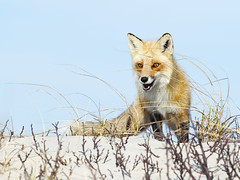 Red Fox (Brian E Kushner) Tags: redfox red fox mammal vulpesvulpes island beach state park islandbeachstatepark berkeley nj new jersey nikon d4s nikond4s nature bkushner wildlife animals brianekushner nikon70200mmf28 70200mm f28 nikor