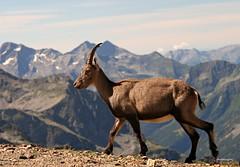 (claudiophoto) Tags: stambecco gressoney passodeisalati monterosa alpi alpino alps alpiitaliane valdaosta indren vette cime escursioni