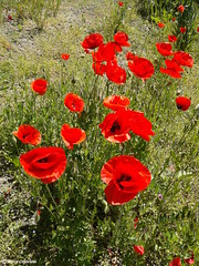 "Rosolacci - Poppies (Marco Ottaviani ""back home"") Tags: natura nature piante plants papaveraceae papaver rosolaccio poppy papavero estate summer caldo hot marcoottaviani"