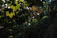 Bltter im Gegenlicht (06) (Rdiger Stehn) Tags: gegenlicht blatt bltter laub ahorn blutahorn baum eurosiden rosiden seifenbaumartige sapindales seifenbaumgewchse sapindaceae rosskastaniengewchse hippocastanoideae ahorne acer spitzahorn 2000er 2000s europa mitteleuropa deutschland norddeutschland schleswigholstein altenholz altenholzstift canoneos550d nahaufnahme 2016 natur