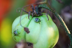 Nature (serra88) Tags: nature italy countryside natura verde green grapes uva pomodoro insetti insect