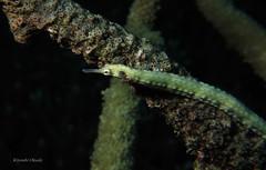 Pipefish (kyshokada) Tags: astrolabereef animalplanet pipefish underwater scuba diving reef tropical pacific fiji corals canon powershot