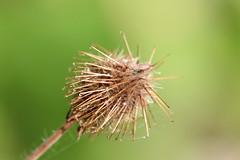 Largeleaf Avens Seedhead (corey.raimond) Tags: sticky seeds sticks hooked seeddispersal washington kirkland stickyseeds geum seedhead plant rosaceae geummacrophyllum avens burr hooks