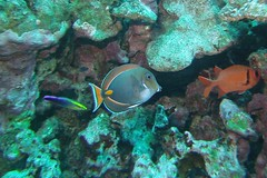 quick clean-up  -  Explored Sept. 20, 2016 (BarryFackler) Tags: fish sealife scuba marinebiology undersea acanthurusachilles achillestang pakuikui surgeonfish achillessurgeonfish tang aachilles hawaiiancleanerwrasse labroidesphthirophagus wrasse lphthirophagus cleaningstation cleanerwrasse water westhawaii ecology ecosystem reef tropical underwater island outdoor ocean sea coral organism marine bay pacificocean animal diver hawaiianislands polynesia sandwichislands honaunaubay vertebrate pacific zoology bigisland marinelife 2016 aquatic barryfackler southkona dive marineecosystem seacreature fauna biology kona sealifecamera hawaii marineecology saltwater coralreef bigislanddiving diving hawaiiisland konadiving hawaiicounty nature honaunau creature hawaiidiving being konacoast barronfackler explore explored inexplore