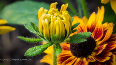 New Bloom (1 of 1) (amndcook) Tags: michigan outdoors browneyedsusan flower nature rudbeckia wildlife