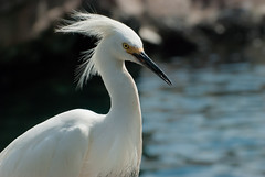 _DSC3543.jpg (cy-photography) Tags: wind neck sharp nature water flying beauty snowyegret look animal pure wild bent feathers aviary curve profile scurve aviain beak birds egret side head snow beautiful snowy eyes wings wing animals elegant flight bird white
