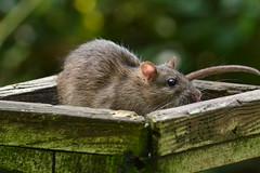 Rat bird (explored ) (Matt Burke) Tags: westport lake