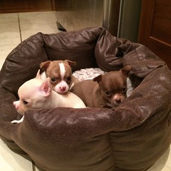 ** Praline, Nougat et Moka ** (Impatience_1) Tags: praline nougat moka chihuahua chiot puppy animaldecompagnie pet animal bête bêtesdedanielle impatience 2016 alittlebeauty coth clydesfriends coth5 ruby3 sunrays5 ruby10 100commentgroup