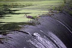Heron and Spillway (MTSOfan) Tags: dam spillway greatblueheron bird edge precarious fishing