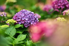 Hydrangea (Diego Chiu) Tags: hydrangea   flower butterfly flowers insects garden nature plants outdoor pink blue water lily       dragonfly bathing macro  bokeh shadow light japan