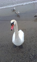 What's up bro (PollyPhotografy) Tags: swan bird curious nature looking