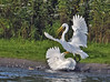 """""""This Land Is MY Land!"""" (Vidterry) Tags: egrets greategrets cedarlake territoriality"""