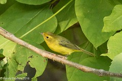 More Warbler confusion (rdroniuk) Tags: birds smallbirds warblers