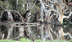 True reflections  Best in Lightbox - (Explored)  What the Aussies call a Billabong :-) (Jak 45) Tags: thechallengefactory
