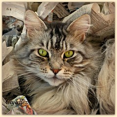 Floris omringt door proppen krantenpapier. - Floris in the middle of crumpled newspapers. (Explored) (Cajaflez) Tags: portrait pet cute cat newspaper kat chat longhair panasonic papers mainecoon katze portret papier gatto kater floris kranten proppen impressedbeauty langharig 100commentgroup saariysqualitypictures coth5 mygearandme mygearandmepremium mygearandmebronze mygearandmesilver mygearandmegold mygearandmeplatinum mygearandmediamond dmcfz150