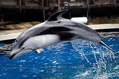 Helen (Jennifer Stuber) Tags: vancouver aquarium dolphin vancouveraquarium pacificwhitesideddolphin vanaqua