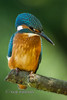 Kingfisher (Nigel Dell) Tags: summer birds flickr wildlife places hampshire kingfisher ngdphotos