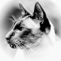 PChambers_Week45 (CityWodge) Tags: blackandwhite cats monty 52project