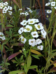 My favourite flower (hannahjessica2002) Tags: summer white flower garden sweet honey smell scent alyssum