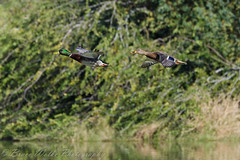 Mallards in flight (Arizphotodude) Tags: arizona bird nature birds animal animals flying duck wings nikon wildlife birding flight az 300mm gilbert mallard nikkor avian 2012 ariz gilbertaz gilbertriparianpreserve riparianpreserve d7k d7000 nikond7000 riparianranchatwaterpreserve brucewolke