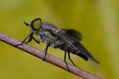 Horse-fly (Rundstedt B. Rovillos) Tags: macro insect fly australia brisbane queensland insekt horsefly insekten insecte reverselens diptera macrophotography insecta langaw tabanidae kurwongbah nikkor1855mm sooc insekto straightoutofcamera reverselensadapter kulisap diyflashdiffuser nikond300 rundstedtbrovillos kentuckyfriedchickenplasticbucketlid diykfcflashdiffuser onehandmacroshootmethod kfcdiffuser kfcflashdiffuser