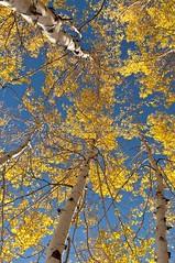 Seasons Change (MommaD photos) Tags: travel autumn trees wild sky usa fall nature colors leaves outdoors landscapes utah nikon october seasons natural fallcolors bark northamerica aspens sensational parkcity seasonschanging coth5 tnwaphotography