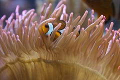 Clown Fish 1 (Peter Cook UK) Tags: surrey clownfish anemone amphiprionocellaris sealifecenter chessingtonzoo