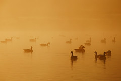 The Golden Lagoon. (Crusade.) Tags: park uk morning wild mist nature animal sunrise canon duck richmond deer 70200 richmondpark 5d2 sswis