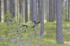 JNR_8900s (Jens N. Roved) Tags: nature animals forest reindeer nikon sweden wildlife deer highland dalarna d3s idregrvelsjn