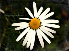 Protector of the next generation (LETHO 2706) Tags: november autumn flower walk herbst daisy blume spaziergang gänseblume photgraphyartbysänech