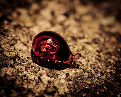 "Rare Otways carnivorous snail..or.. • <a style=""font-size:0.8em;"" href=""http://www.flickr.com/photos/44919156@N00/8211380032/"" target=""_blank"">View on Flickr</a>"