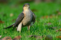 Sparrow Hawk (Accipiter nisus) (m. geven) Tags: sperwer sparrowhawk accipiternisus sperber epervierdeurope roofvogel birdofprey predator raptor stootvogel kromsnavel vogeljager havikachtige accipitridae avian avifauna fauna dier animal nature natuur vogel bird wildlife prooi prey eerstewinter jeugdkleed firstwinter man male secondwinter tweedewinter gras grass grond ground herfstblad herfstbladeren autumn herfst najaar perched gemeentebrummen gelderland nederlandthenetherlandsniederlande nld