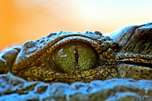 عالم الحيوان والنبات :: اكسل حيوان فى العالم (( التمساح ))
