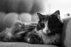 Roxy (Photofidelity) Tags: portrait blackandwhite cat feline kitty meow roxy meghanherald olympusomdem5