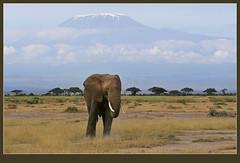 Kili + Ellie = Amboseli (Rainbirder) Tags: kilimanjaro africanelephant amboseli loxodontaafricana africansavannahelephant rainbirder