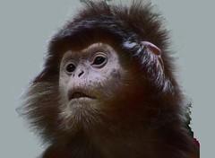 Wilhelma  -Haubenlangur, 61-30/1686 (roba66 (in hospital)) Tags: animal animals zoo monkey tiere ape baboon tierpark primate apes langur tier affe wilhelma mfcc monkys haubenlangur botgarten roba66 zoolgarten