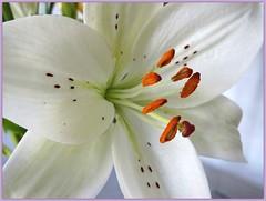 ✿.√,•*´✿IL GIGLIO BIANCO (antonè) Tags: sardegna flower natura fiore sassari bianco lilium herecomesthesun pistilli antonè hennysgardens rememberthatmomentlevel1 rememberthatmomentlevel2