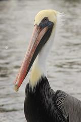 Everglades #5 (escailler arthur) Tags: usa bird water colors animals america canon photography us photo nationalpark florida unitedstatesofamerica everglades northamerica pelikan evergladesnationalpark usnationalpark plican eos7d vancayzeele