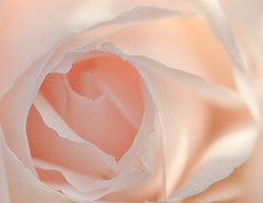 Soft Love (Adrian_DOF) Tags: light colour beauty rose nikon heart naturallight delicate d3200 nikon105mmf28gedifafsvrmicronikkorlens outstandingromanianphotographers johnsd3200camera