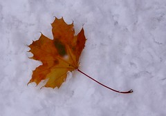Maple leaf / Ahornblatt (Baubo Bittern) Tags: schnee snow maple badenwrttemberg ahorn tettnang