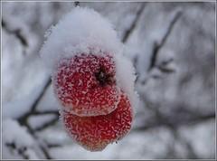(evisdotter) Tags: winter snow apple frost bokeh pplen
