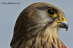 Profile of a Kestrel. 1 106 copy (Tess Mc Kenna Home) Tags: macro bird nature closeup photography ngc profile raptor cannon prey raptors kestrel birdofprey eaglesflying1