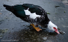 Drinking from the ice (9ary freeman) Tags: ice birds 50mm duck nikon flickr ely muscovy muscovyduck nikond7000