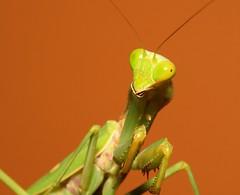 Praying Mantis ([ Wesley Sng Photography ]) Tags: mantis praying