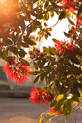 Once upon in the evening… (daniel.chodusov) Tags: new flowers sunset plants sun tree evening waterfront blossoms auckland pacificocean zealand traveling endemic pohutukawa
