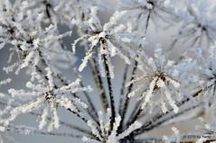 Frozen (hartp) Tags: flowers schnee winter white snow plant cold flower color colour nature colors d50 catchycolors garden frozen nikon natural natur pflanze blumen blume farbe garten farben kälte weis helluva gefroren welltaken hartp hartp94315 wowiekazowie macromix