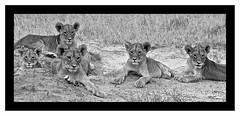 Black & White Cubs (paulafrenchp) Tags: blackwhite lions zimbabwe hwange ldfelinephotography